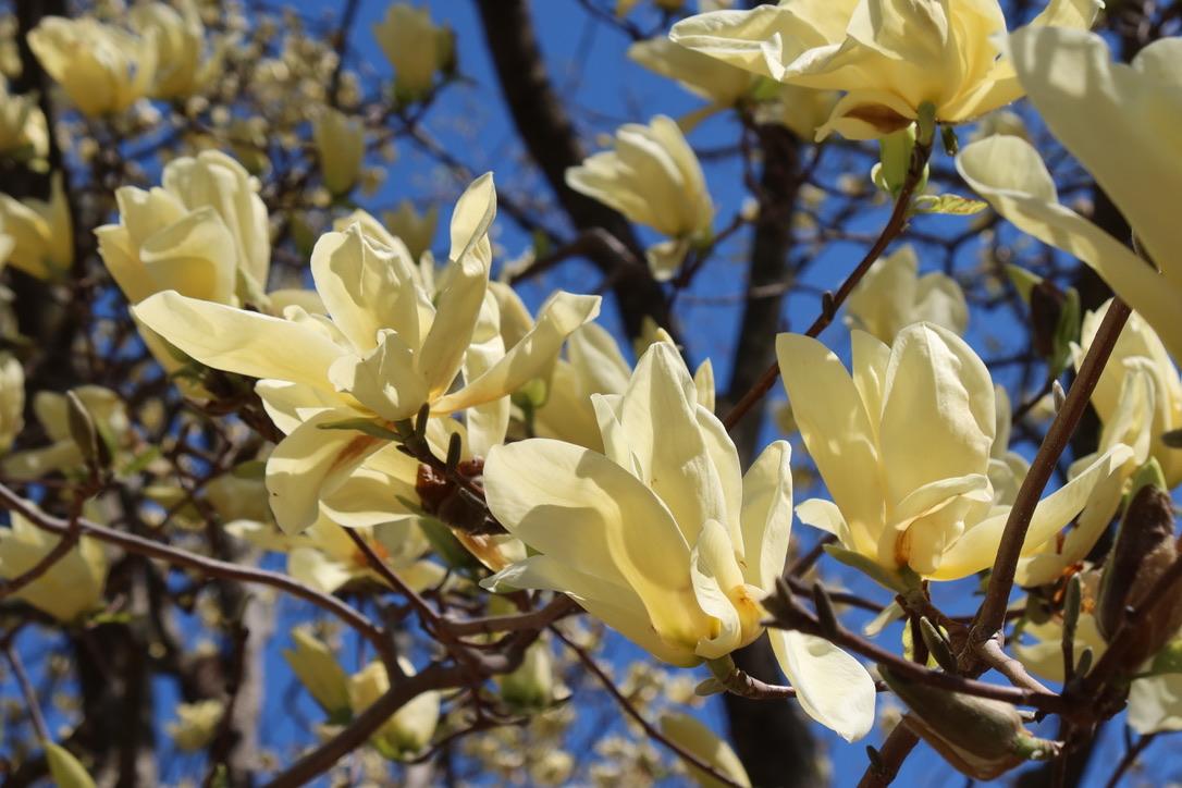White Magnolia Tree
